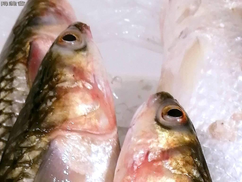 我是豆仔魚不是烏魚 | 鯔科 | 前鱗龜 | 岸釣